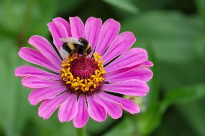 Zinnia EleGanS wItH BoMBus